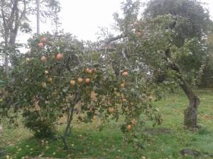 Võsalõikus ja õunapuude lõikamine