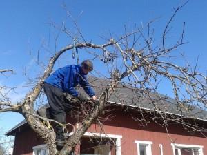 Õunapuude lõikus